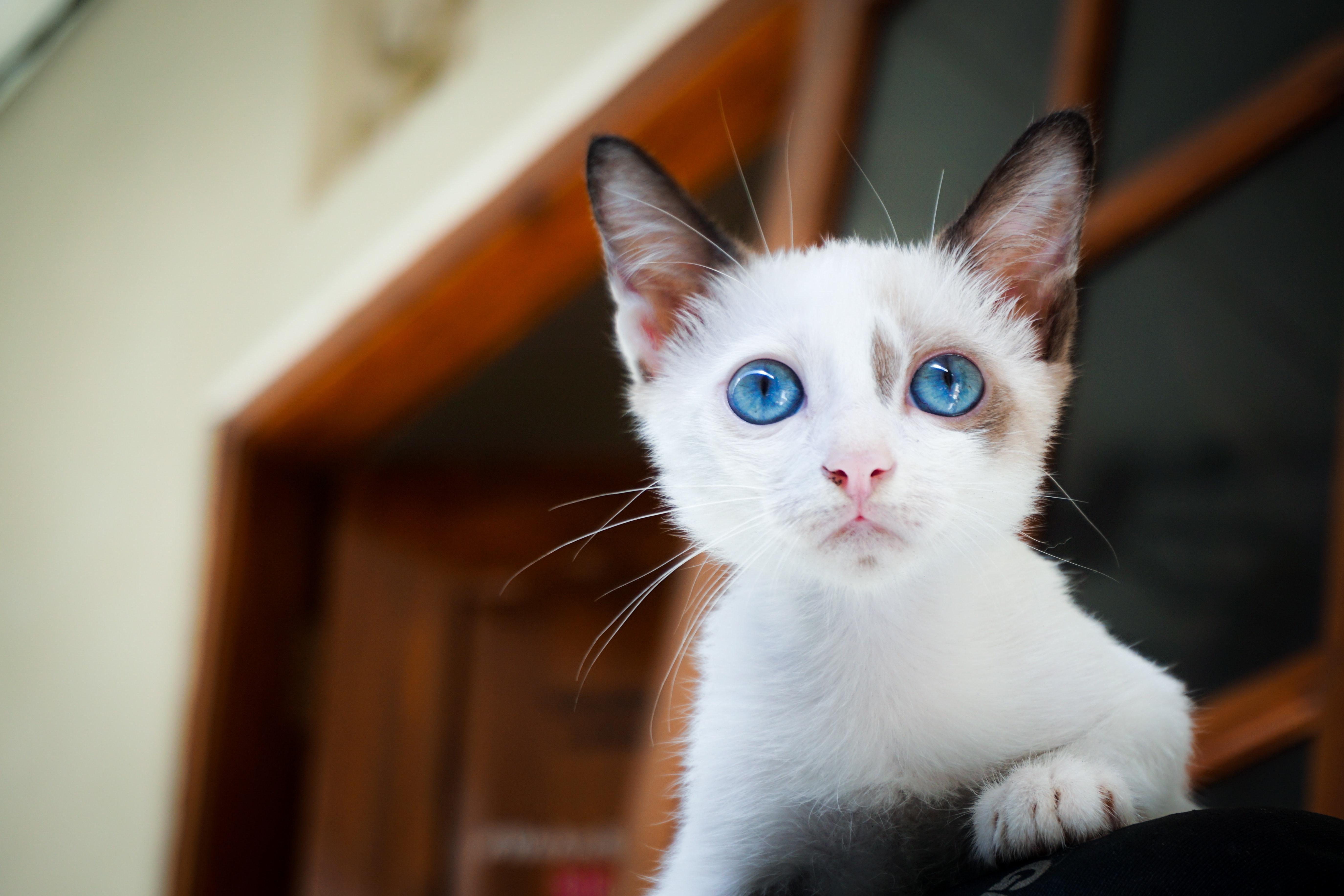 Kattunge av rasen helig birma